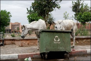 Marakesz -  bezpańskie konie (fot.Krystyna Milczarek)